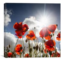 Popping - Poppies, Canvas Print