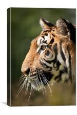 Focused - Tiger Portrait, Canvas Print