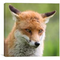 Bashful - Fox, Canvas Print