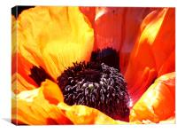Giant poppy, Canvas Print