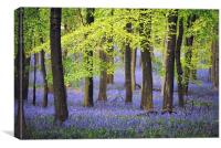 Bluebells at Ashridge, Canvas Print