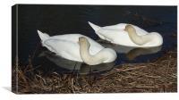 Sleepy swans, Canvas Print