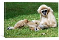 Gibbon basking in the sun