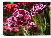 Dianthus In Bloom, Canvas Print