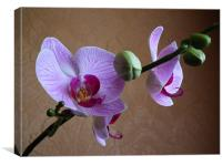 Moth Orchid In Bloom, Canvas Print