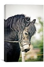 Exmoor Pony, Canvas Print
