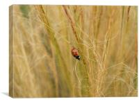 Ladybird in the grass, Canvas Print