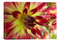 Red and Yellow Dahlia, Canvas Print