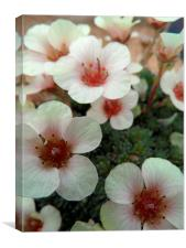 Saxifraga White Pixie, Canvas Print