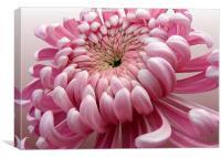Pink Chrysanthemum , Canvas Print