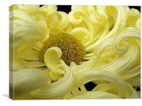 Curly Yellow Chrysanthemum, Canvas Print