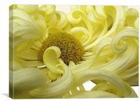 Yellow Chrysanthemum, Canvas Print