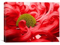 Curly Chrysanthemum In Red, Canvas Print