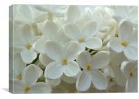White Lilac, Canvas Print