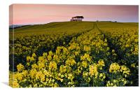 Rape Field and Beech Copse at Sunset, Canvas Print