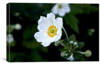 White Anemone, Canvas Print
