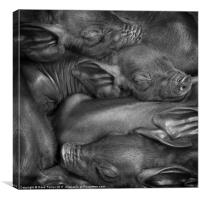 Black or Devon Piglets, Canvas Print