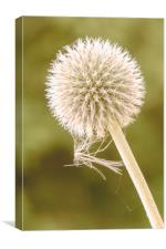 Seedhead with spider web, Canvas Print