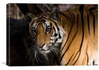 Tiger, stare, prey, Canvas Print