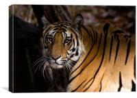 Tiger, shadow, stalk