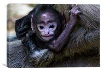Langur, baby, mother