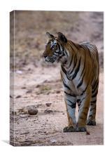 Tiger, prey, kill, Canvas Print