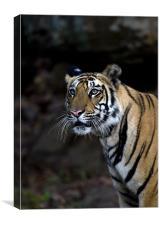 Tiger, stalk, rocks, Canvas Print