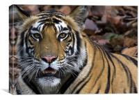 Tiger, stare, kill, Canvas Print