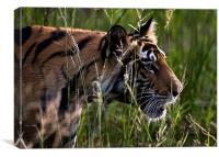 Tiger, river, stalk, kill, Canvas Print