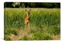 Roe Deer, young, male, grazing