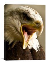 Bald Eagle, beak, macro