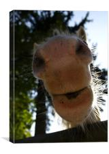 Horse, nose, humour