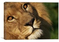 lion, wild, animal, Canvas Print