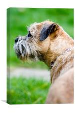 Border Terrier, Canvas Print