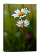 Large daisies, Canvas Print