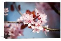 Flowering Cherry Blossom, Canvas Print