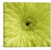 Lime Chrysanthemum