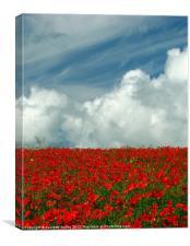 Poppy Field in Bloom.Pembrokeshire., Canvas Print
