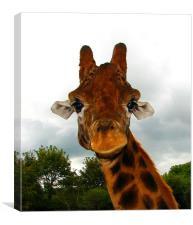 Giraffe. Giraffa Camelopardalis., Canvas Print