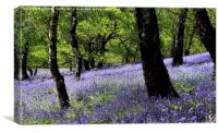 Bluebell Woodland. Caerphilly, Wales., Canvas Print