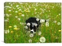 Welsh Border Collie, Canvas Print