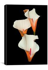 Peach Calla Lily., Canvas Print