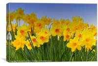 Daffodil Fanfare, Canvas Print