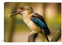 Blue-winged Kookaburra, Canvas Print