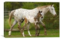 Mother and Baby Appaloosa, Canvas Print