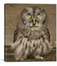 Baby Owl, Canvas Print