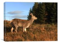 Glencoe Red Deer, Canvas Print