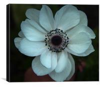 White anemone coronoria, Canvas Print