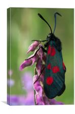 Six Spotted Burnett Moth, Canvas Print