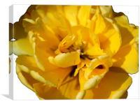 Yellow Tulip, Canvas Print